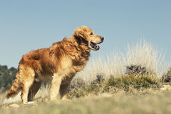 Portrait of a dog in outdoor, golden. Dog in the sun in a park and blue sky Royalty Free Stock Image