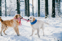 Portrait of a dog outdoors in winter. two young golden retriever playing in the snow in the park. Tug toys Royalty Free Stock Image