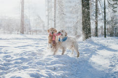 Portrait of a dog outdoors in winter. two young golden retriever playing in the snow in the park. Tug toys Stock Image