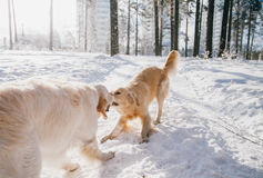 Portrait of a dog outdoors in winter. two young golden retriever playing in the snow in the park. Tug toys Royalty Free Stock Photo