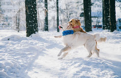 Portrait of a dog outdoors in winter. two young golden retriever playing in the snow in the park. Tug toys Royalty Free Stock Photography