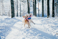 Portrait of a dog outdoors in winter. two young golden retriever playing in the snow in the park. Tug toys Stock Photo