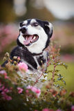 Portrait of a dog in pink bushes. Royalty Free Stock Image