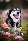 Portrait of a dog in pink roses. Stock Photos