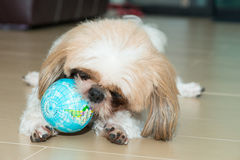 Portrait of a dog play the world ball stock photo