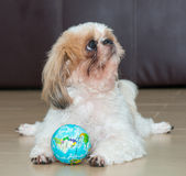 Portrait of a dog play the world ball royalty free stock photography