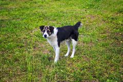Portrait of a dog pooch black-and-white coloring walking on a green lawn