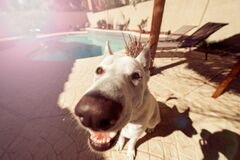 Portrait of dog by pool