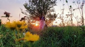 Portrait of a dog posing in the nature on a summer flowering meadow over a sunset sky background. Orange sun beams pierce the bran. Ches of a elm tree and a stock video footage