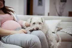 Schnauzer protecting pregnant woman stock images