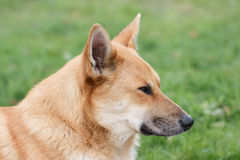 Portrait of dog in profile Royalty Free Stock Photography
