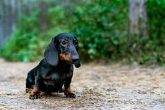 Portrait of a dog puppy breed dachshund black tan, in the green forest stock image
