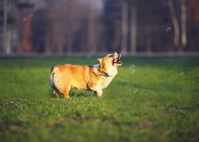 Portrait of funny red dog puppy Corgi walking on green lawn with young grass and catching shiny soap bubbles on Sunny warm spring. Portrait of dog puppy Corgi royalty free stock image