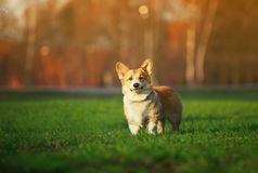 Portrait of funny red dog puppy Corgi walking on green young grass on spring Sunny meadow and catching shiny soap bubbles. Portrait of dog puppy Corgi walking on stock photo