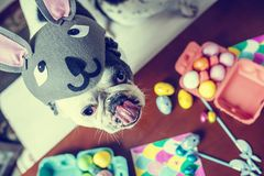 dog with rabbit hat on table with Easter eggs. Stock Photography