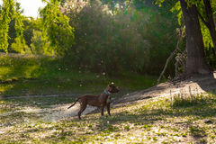 Portrait of a dog in a river Stock Photography