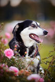 Portrait of a dog in roses. Royalty Free Stock Photography