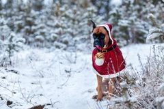 Portrait of dog in Santa costume against background of Christmas trees. German boxer holds New Year`s ball in his teeth. Walk in winter forest Stock Photo