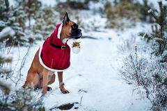 Portrait of dog in Santa costume against background of Christmas trees. German boxer holds New Year`s ball in his teeth. Walk in winter forest Stock Photography