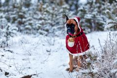 Portrait of dog in Santa costume against background of Christmas trees. German boxer holds New Year`s ball in his teeth. Walk in winter forest Royalty Free Stock Images