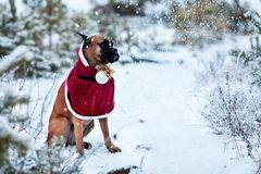 Portrait of dog in Santa costume against background of Christmas trees. German boxer holds New Year`s ball in his teeth. Walk in winter forest Royalty Free Stock Photos