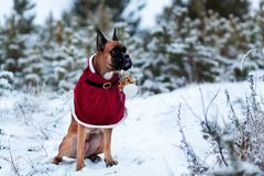 Portrait of dog in Santa costume against background of Christmas trees. German boxer holds New Year`s ball in his teeth. Walk in winter forest Royalty Free Stock Photography