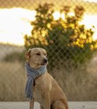 Portrait of a dog with a scarf royalty free stock photos
