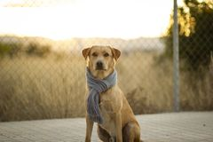 Portrait of a dog with a scarf royalty free stock images