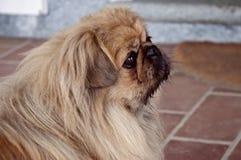 Portrait of  dog shatzu Stock Images