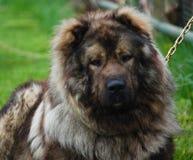 Portrait of Dog Sheperd Stock Image