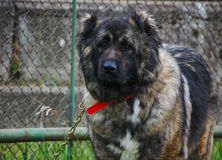Portrait of Dog Sheperd Royalty Free Stock Photo