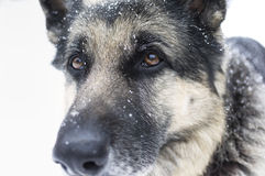 Portrait of a dog. Portrait of a shepherd dog with a faithful gaze, winter scene in the background Stock Images
