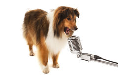Portrait of dog singing on vintage microphone Stock Image