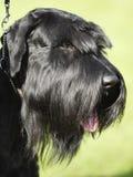 Portrait of dog Royalty Free Stock Image