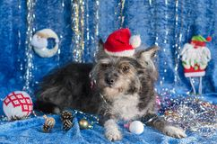 Funny dog in Christmas background Stock Photos