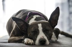 Portrait of dog sleeping peacefully. On the sofa Royalty Free Stock Photo