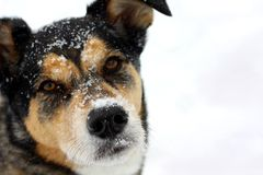 Portrait of Dog in Snow Stock Image
