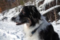 Portrait of a Dog in Snow stock photography