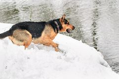 Portrait of a dog on a snow Royalty Free Stock Photography