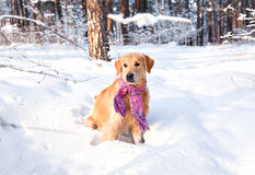 Portrait of a dog in the snow in the park. Labrador Retriever in a pink scarf outdoors in winter. Clothes for dogs. Royalty Free Stock Image