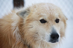 Portrait of a dog in the snow with sad eyes. Portrait of a fluffy carroty dog in the snow with sad eyes close-up Royalty Free Stock Photo