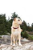 Portrait of a dog standing on top of the cliff Royalty Free Stock Photos