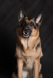 Portrait of a dog, thoroughbred German shepherd Stock Images