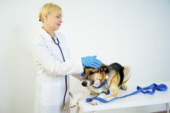 Dog at a vet. A portrait of a dog at a vet checkup royalty free stock photography