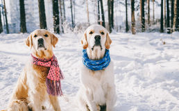 Portrait of a dog wearing  scarf outdoors in winter. two young golden retriever playing in the snow in the park Stock Photography