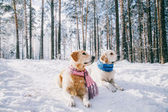 Portrait of a dog wearing  scarf outdoors in winter. two young golden retriever playing in the snow in the park Royalty Free Stock Image