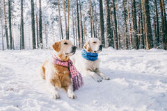 Portrait of a dog wearing a scarf outdoors in winter. two young golden retriever playing in the snow in the park. Dog Royalty Free Stock Image