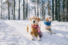 Portrait of a dog wearing a scarf outdoors in winter. two young golden retriever playing in the snow in the park. Dog Stock Image