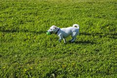 Portrait of a dog white coloring walking on a green lawn.