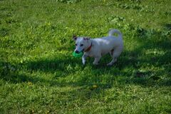 Portrait of a dog white coloring walking on a green lawn on a sunny summer day